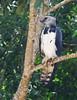 Harpy eagle/Gavião-real/Harpía (Harpia harpyja) (adult) by Héctor Bottai