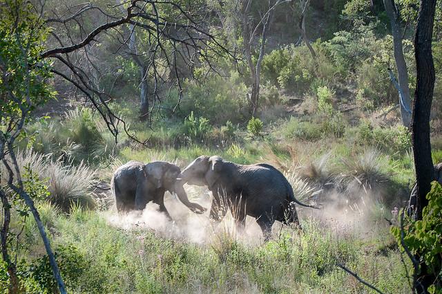 ELEPHANTS PLAY FIGHTING