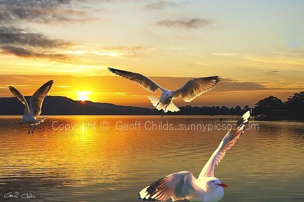 Seagulls at Sunrise... Exclusive Original stock Photo Art