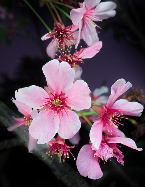 Falling cherry blossoms at night / 散りゆく夜桜