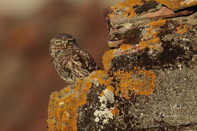 Ooles, Chevêche d'Athéna - ( Athene noctua ) Little Owl #1208