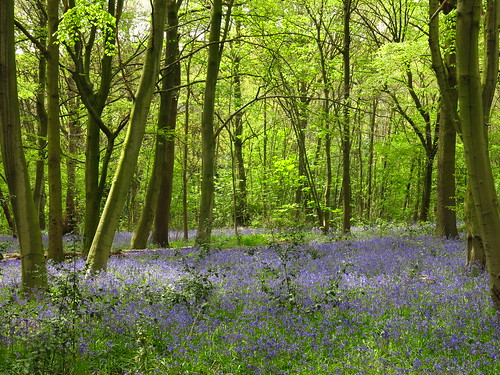 Bluebells in Wanstead Park | by Laura Nolte
