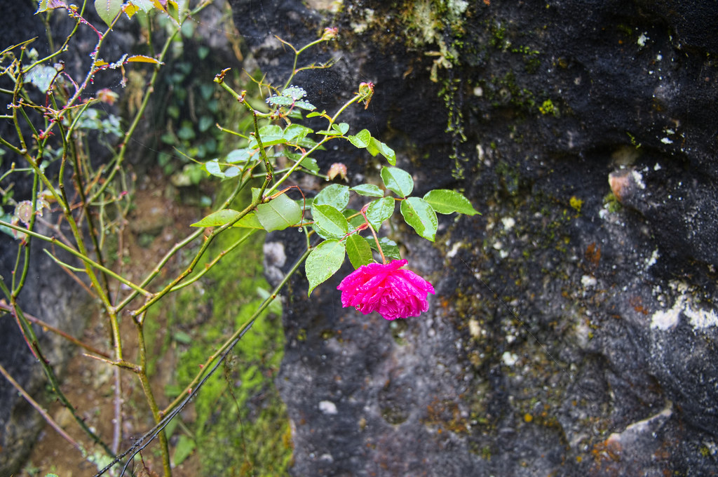 Blooming rose in Sapa