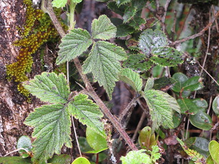 starr-100412-4720-Rubus_macraei-leaves-Waikamoi-Maui | by Starr Environmental
