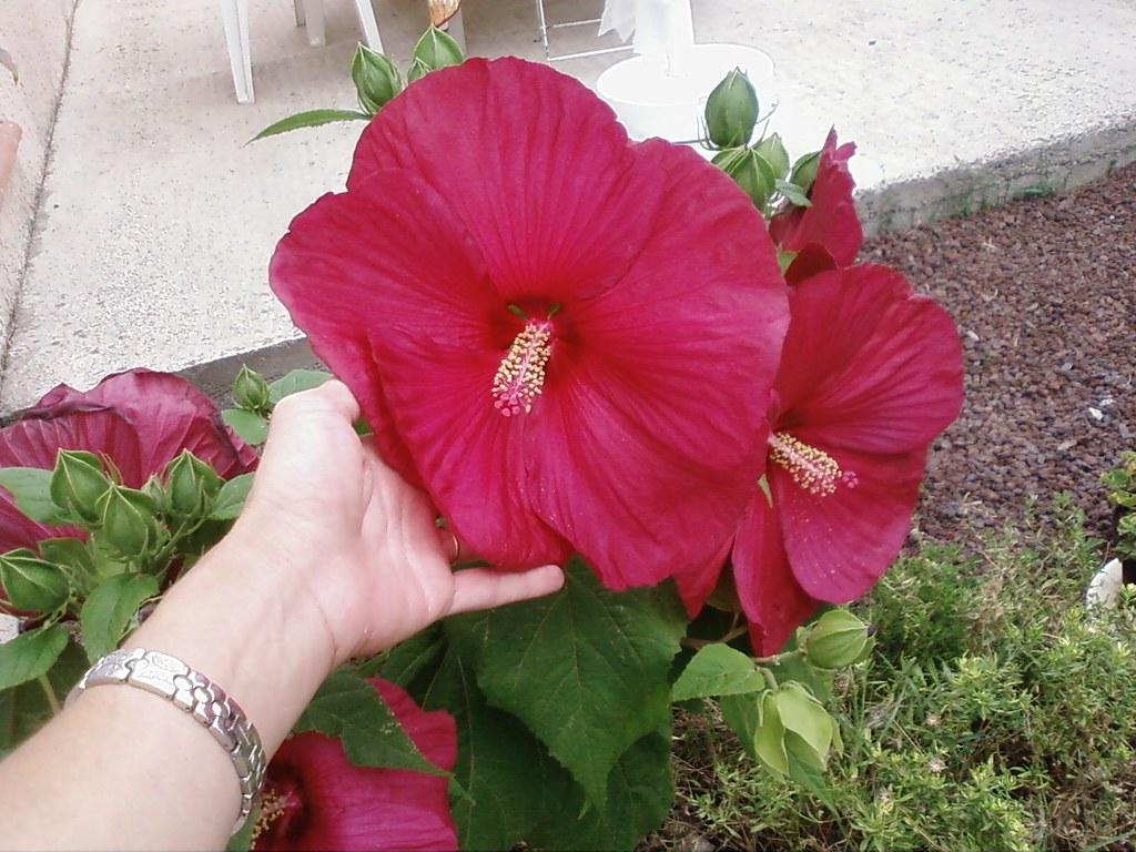 Hibiscus de jardin | La taille de la fleur est impressionnan ...