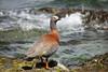 Ashy-headed Goose (Chloephaga poliocephala) by Sergey Pisarevskiy
