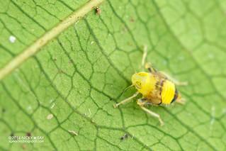 Leafhopper nymph (cf. Coelidiinae) - DSC_7111