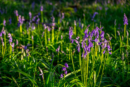 uk morning flowers trees sky nature bluebells forest sunrise woodland countryside spring fuji norfolk earlymorning wideangle norwich fujifilm wayland 12mm bluebell hdr peacefull 2016 watton waylandwood samyang xt10 samyang12mm