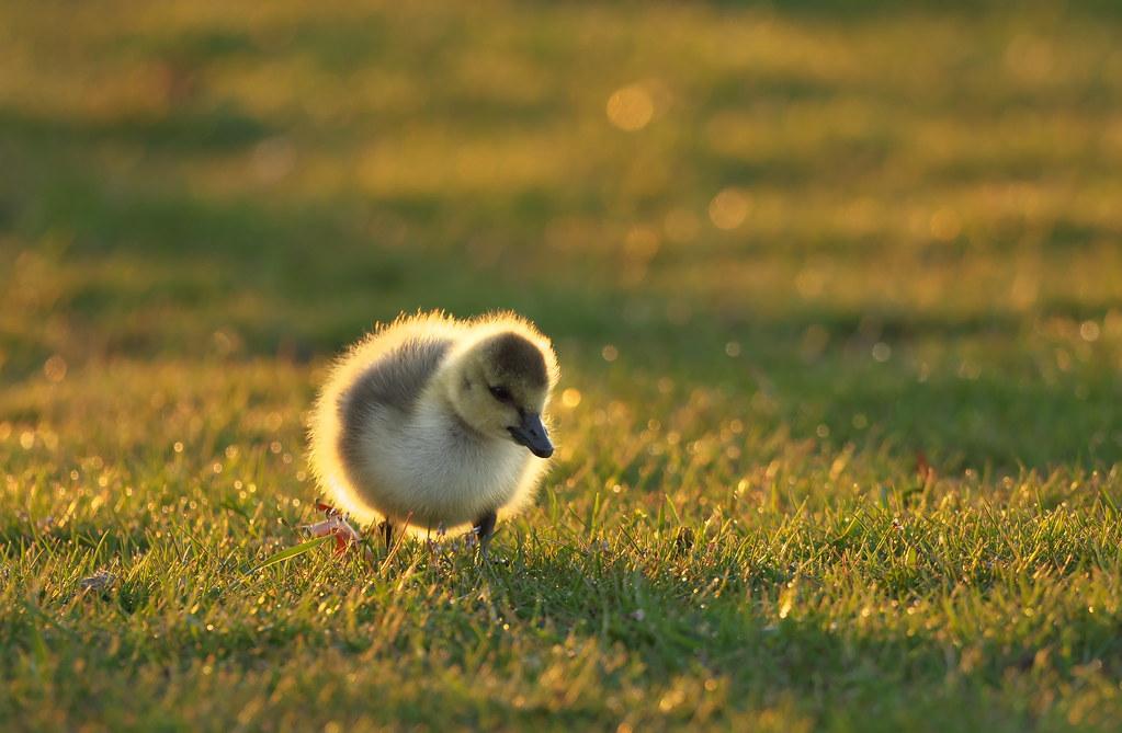 Backlit Gosling