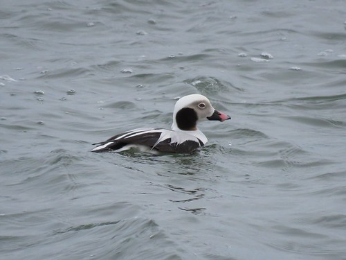 Long-tailed Duck | by Justin Lee (NoNameKey)
