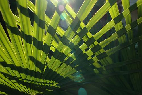 Back-lit palm leaves