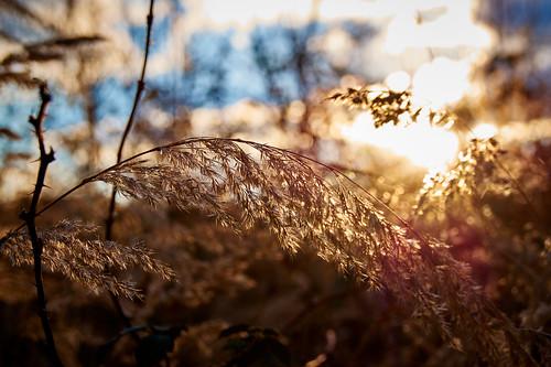 blue sunset sky sun field grass gold bush sonnenuntergang dof feld kitlens himmel blau sonne goldenhour goldene stunde gestüpp kitobjektiv sal1855 sonyslta58