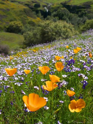 california green waterfall poppies wildflowers tablemountain