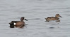 Blue-winged Teal (Anas discors) by TG23-Birding in a Box