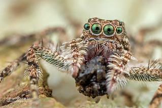 Jumping spider (Phaeacius sp.) - DSC_9698b
