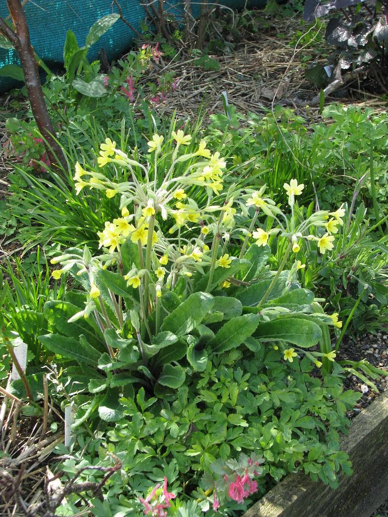 Primula veris x elatior from Kevin Hughes