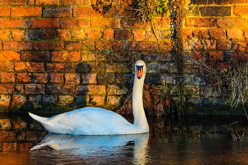 uk winter wild england black texture water wall reflections landscape golden canal swan bright outdoor bricks country hour dudley serene fowl ton waterways 2014 netherton nether nikon80400mmafs4556gedvfwestmidlandstheblackcountryukenglandwinter2014nethertoncanalcanalwatericereflectionsswanwildfowlwallbricksbrickworkgoldenhourserenenikond7100landscapebrightoutdoor
