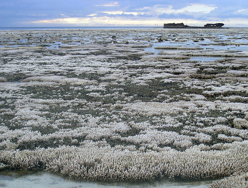 Bleached coral | by Oregon State University