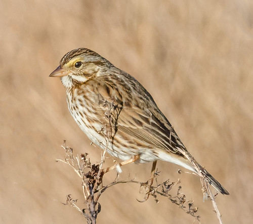 birds us newjersey content places sparrow folder takenby 2016 savannahsparrow peterscamera petersphotos canon7d ebforsythenwr 201603mar 20160309newjerseybirds