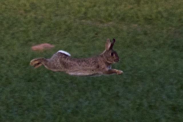 Low flying rabbit