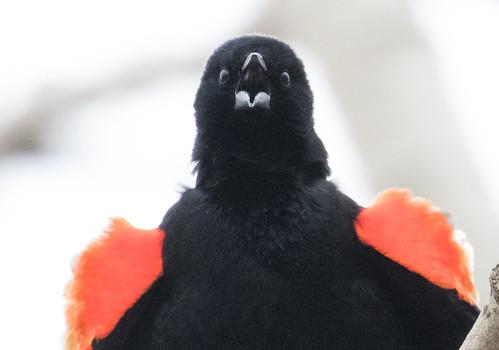 Red-winged Blackbird | by Laura Erickson
