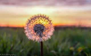 Sunset through a Dandelion - Nieuw Weerdinge | by Martijn van Sabben
