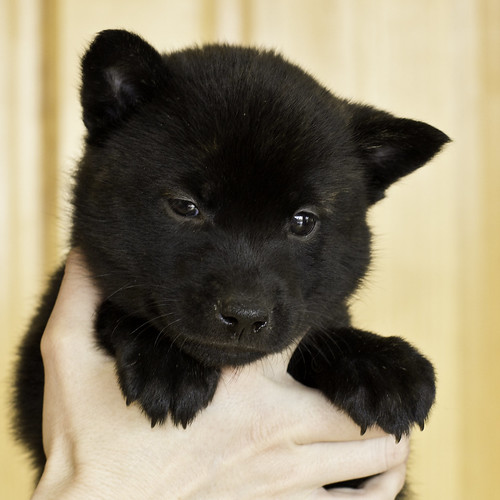 Kumi-Litter5-Day37-Puppy6-Female-a | by brada1878