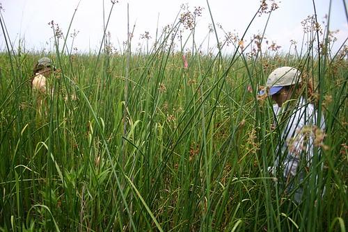 Big cordgrass salt marsh