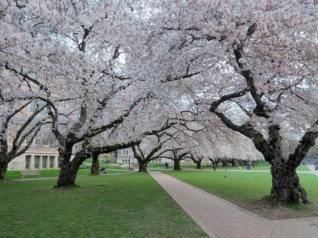 Blossoming cherry trees lining the sidewalks on the UW Seattle campus.