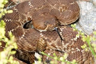 Red Diamond Rattlesnake   by Jeremy Wright Photography