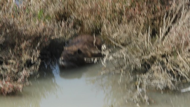 La Camargue. Nutria roedora