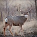 Mule Deer - Photo (c) Sjensen~, some rights reserved (CC BY)