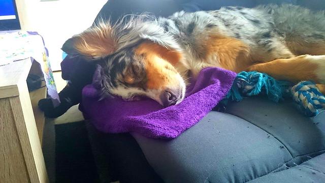 Very Cute Sleepy Dog ❤️