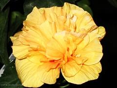 Yellow Hibiscus Close up