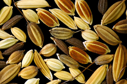 varieties of rice grains | by IRRI Images
