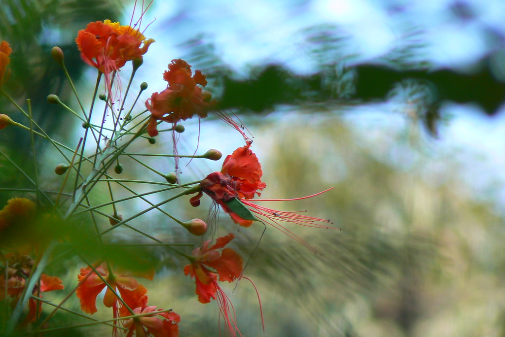 Krishna-chura (Hindi: कृष्ण चूरा) | Caesalpiniaceae