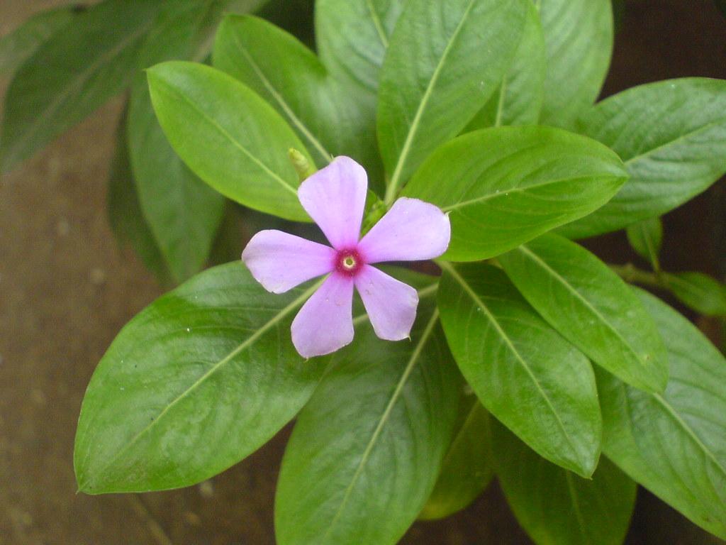 Sadabahar (Hindi: सदाबहार) | Apocynaceae (dogbane, or ...