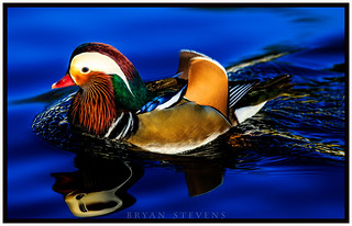 Mandarin duck in its full color | by ACESFULL2008