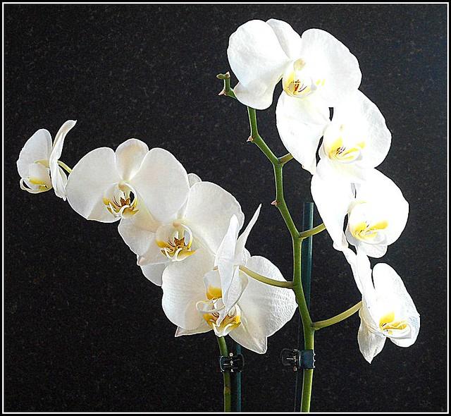 Phalaenopsis ..