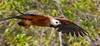 Gavião-belo / Black-collared Hawk by António Guerra