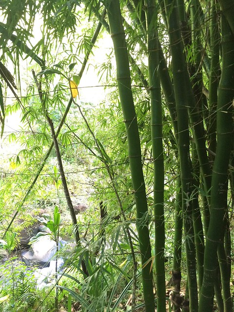 Bamboo along the trail