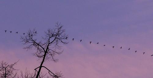 pink blue trees winter light sunset sky tree bird nature birds clouds geotagged wildgeese wildgänse highinthesky