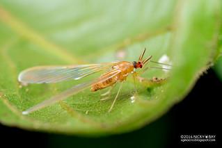Derbid planthopper (Derbidae) - DSC_6274