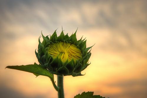 sunset flower nature nikon unitedstates maryland sunflower hdr 2470mm poolesville wildlifemanagementarea photomatix mckeebeshers