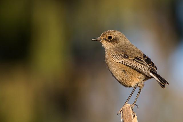 Moorland bird