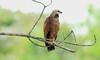 Black-collared Hawk by RedAbbott