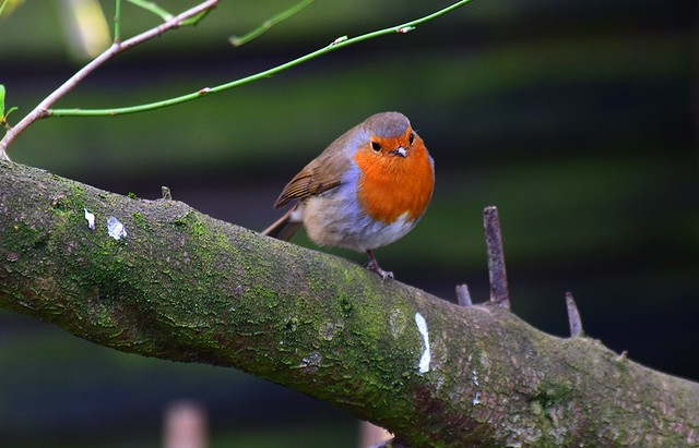 One of the Robins that wants the Chickens food ,stands on one leg patiently waiting