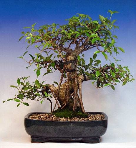ficus_retusa_tigerbark