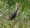 Pied Heron (Egretta (Ardea) picata) (immature) by Geoff Whalan