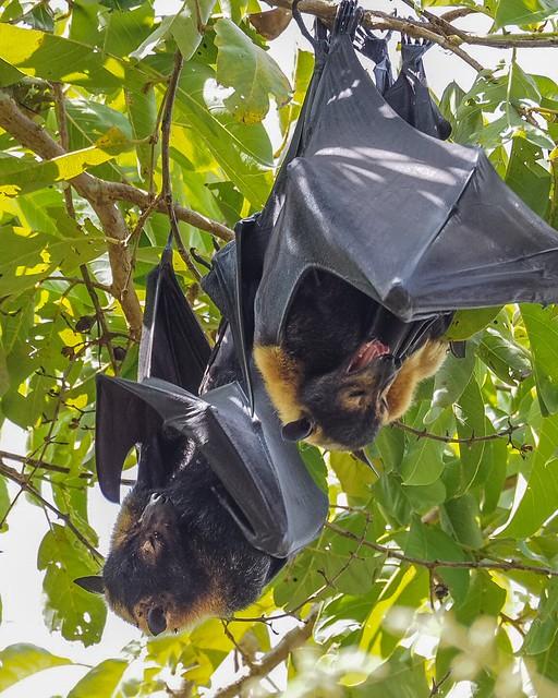 Bat napping